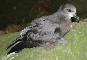 Grey-faced petrel (Oi in Maori) fledgling stretching its wings outside a burrow
